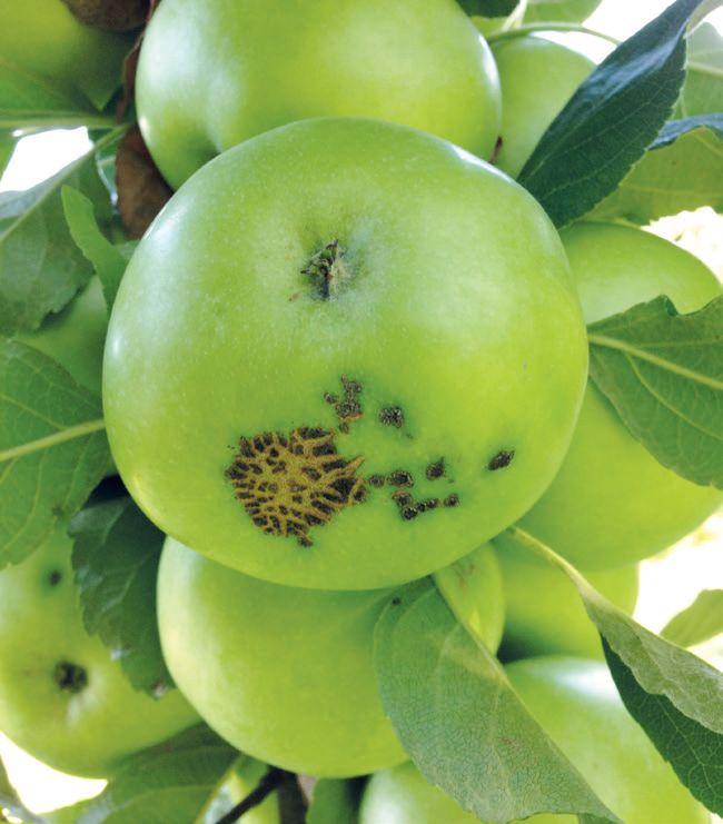Az őszi és tavaszi lemosó permetezéssel megelőzhető az alma varrasodása.